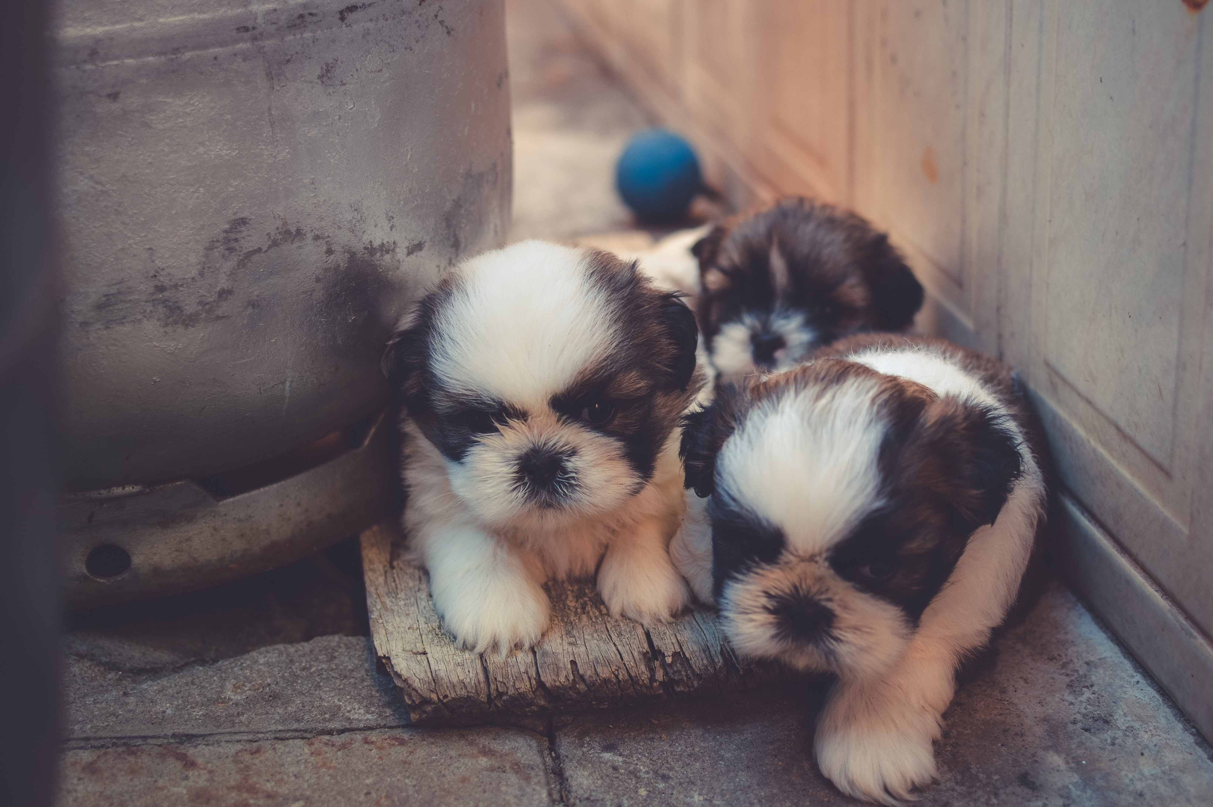 three little black and white puppies snuggling together