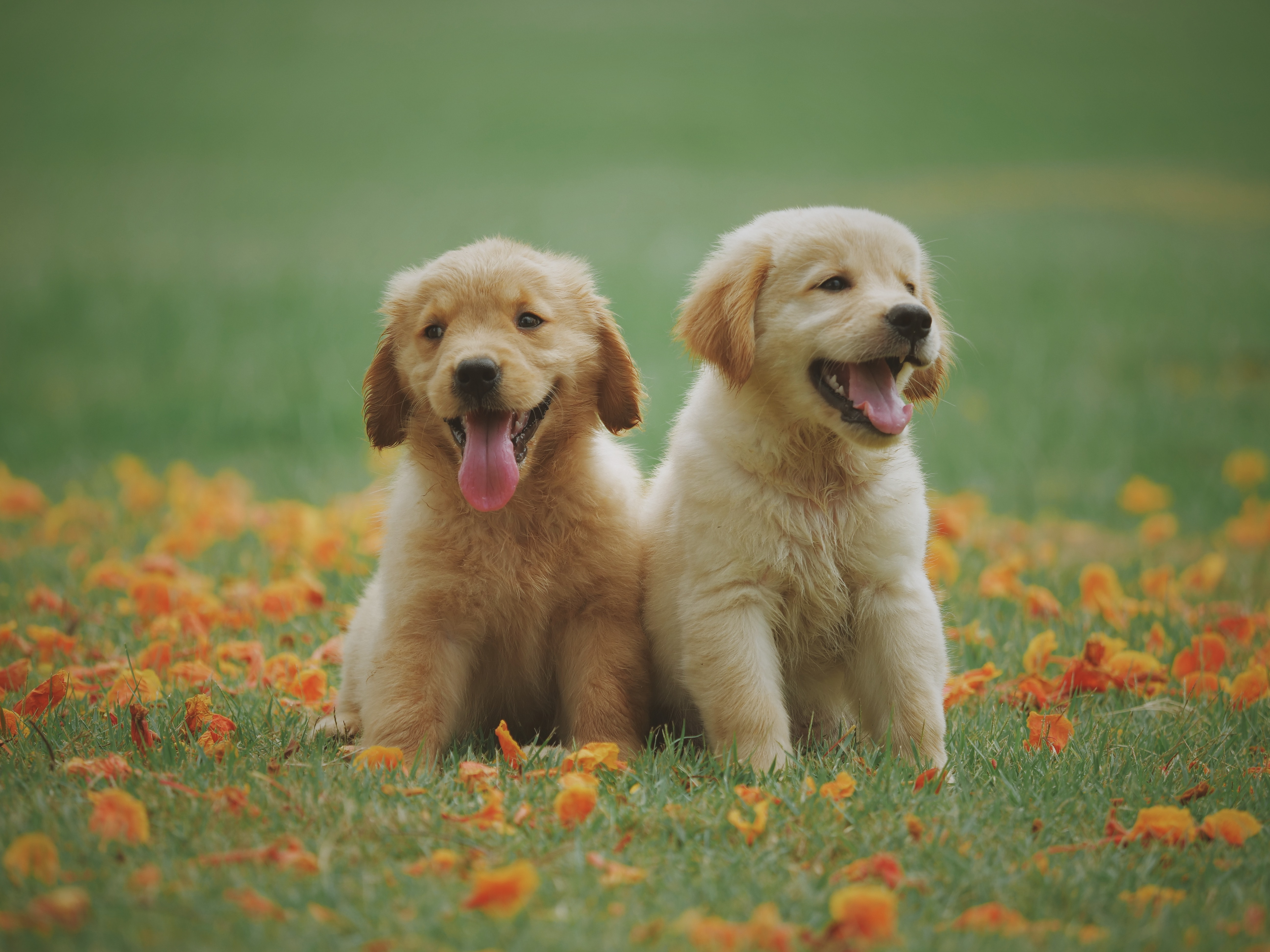 two adorable golden retriver puppies in a green field